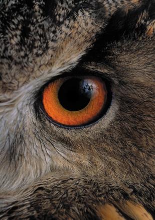 Birds-Owl1